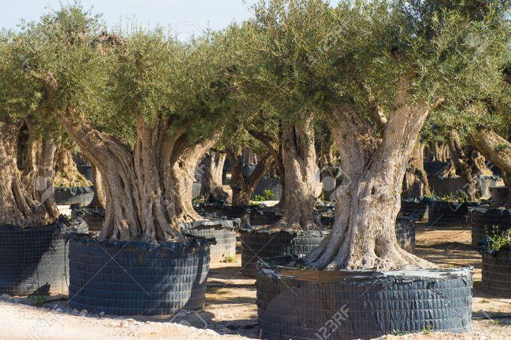 Image result for olive tree for sale