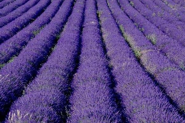 The Lavender Festival in Tihany has started