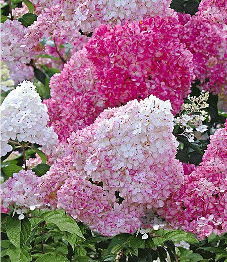 Diese Neuzüchtung wird Jahr für Jahr für Aufsehen in Ihrem Garten sorgen! Das romantische Blütenspektakel beginnt im Frühsommer, wenn die unzähligen Blütenrispen von Rosé mit Weiß in ein verspieltes Erdbeerrot wechseln! Monatelange Blütenfreude ist garantiert. Winterhart, pflegeleicht & kompakt.