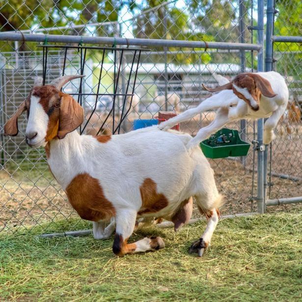 Goat Fu