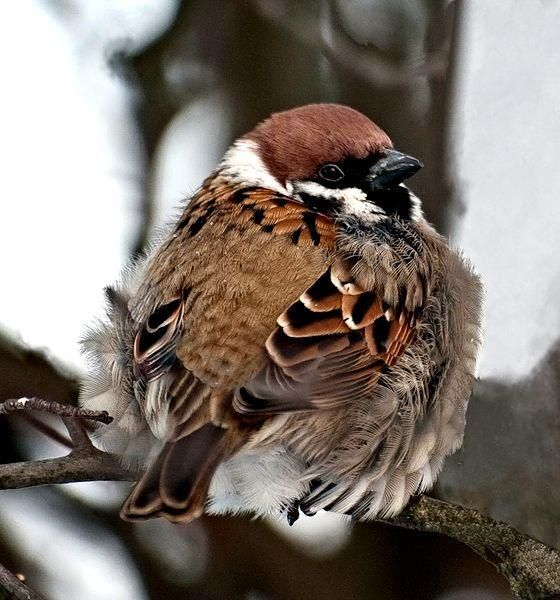 puffed up sparrow <3