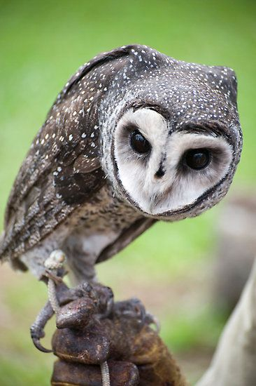 25 best ideas about Beautiful Owl on Pinterest  Owls White owls