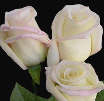92 best white wedding flowers images on pinterest white wedding virginia rose white ivory with blush pink edges mightylinksfo