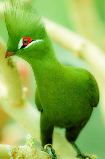 Aves exoticas del Amazonas y del Mundo: Curiosas, raras, extrañas y sorprendentes.: Guineaturaco, Color, Limes Green, Beautiful Birds, Green Birds, Guinea Turaco, Green Turaco, Animal, Feathers Friends