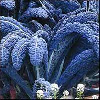 BRASSICA oleracea var sabellica  Lehtikaali 'Nero di Toscana Precoce' Kulttuuriperintö 1800-luvulta. Vanha lehtikaali. Tumman sinivihreät lehdet, joissa on vaalea keskisuoni. Käytetään muiden lehtikaalien ja pinaatin tapaan. Komea, hienon värinen reunuskasvi kesäkukkapenkissä. 125 siementä.