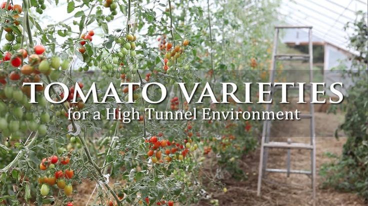 Tomato Varieties for a High Tunnel Environment | University of Rhode Island