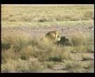 Kavga Eden Aslanlar dehşet verici..  www.hayvanizle.com farkı ile sizlerle.