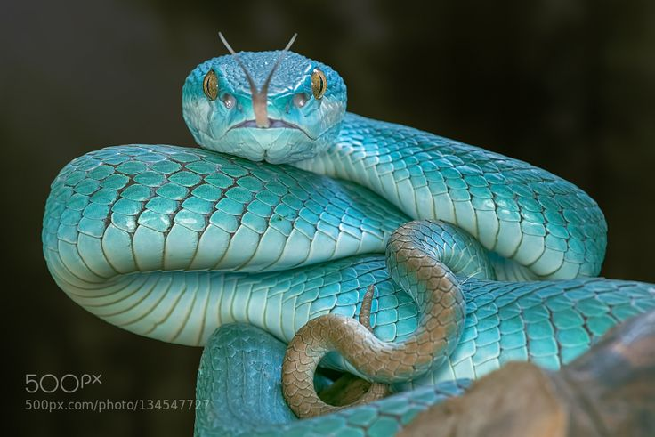 Blue Pit Viper by AdityaPermana. Please Like http://fb.me/go4photos and Follow @go4fotos Thank You. :-)