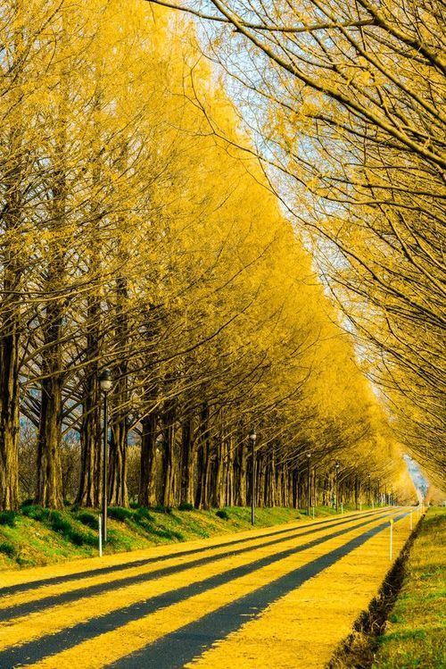 Gingko Tree Highway, Japan. Autumn is so Lovely