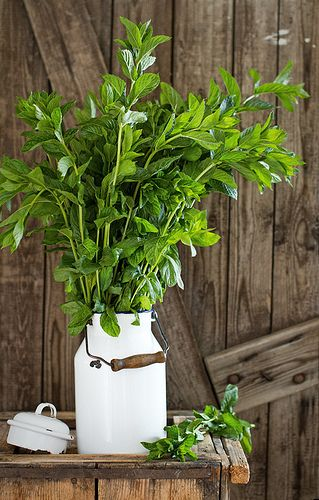 THIS IS FRESH MINT I WISH I COULD GIVE ALL OF YOU SOME, AS I HAVE TO PAY TO GET IT UNDERCONTROL IN MY YARD. IT CONTROLS FLEAS AND  SPIDERS.