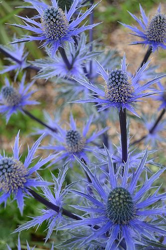 ERYNGIUM x zabelii 'Big Blue'. Sea holly