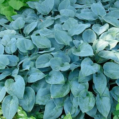 Hosta 'Halcyon' (Hosta) | Medium-size Hosta with heart-shaped blue-green leaves. A nice contrast with plants that have yellow or green foliage. Use as a groundcover under trees or shrubs. Slug resistant | Height: 12-18 in | Width: 24-36 in | Soil Conditions: Moist/Well Drained | Flower Color: Purple | Bloom Time: July,August | Full shade