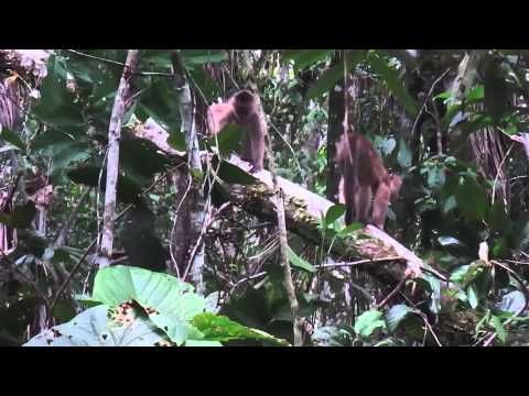 #Capuchin #monkeys #defending #territory and #family in #Amazon #rainforest of #Ecuador.