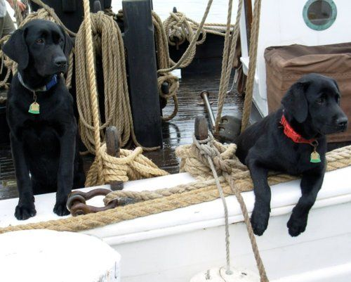 Labs on a boat, what could be more natural?