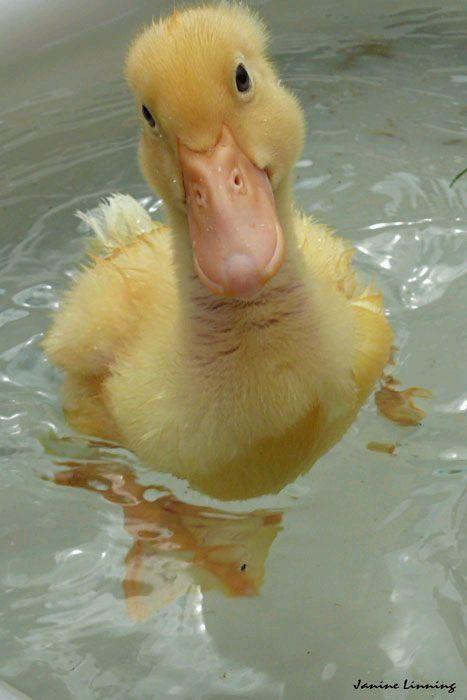 """""""Of course I know how to swim already! I'm a duck! We're born ready!!"""" -  photo by Janine Linning"""