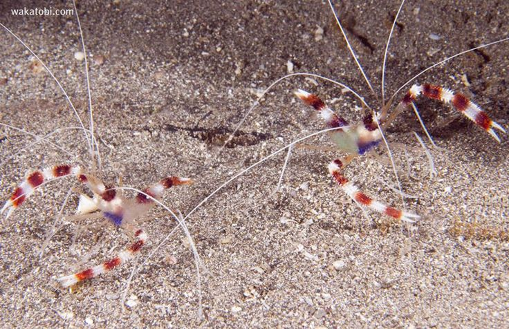 There are several families of cleaner shrimp: the spotted cleaner, the Pacific cleaner and the banded coral shrimp, shown here, which is actually more closely related to lobsters and crabs than it is to other shrimp. At Wakatobi shrimp-run cleaning stations are prolific on the reefs. As many as two dozen cleaner shrimp may inhabit a single cleaning station.  (Photograph: Walt Stearns)