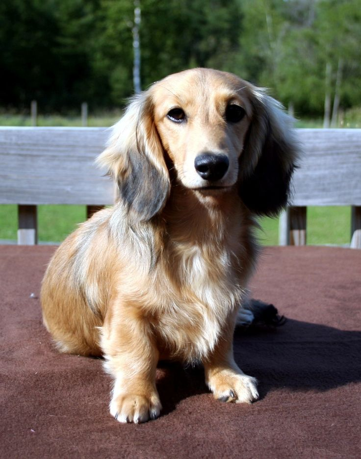 Miniature Dachshund Long-haired Breed Information: History, Health, Pictures, and more
