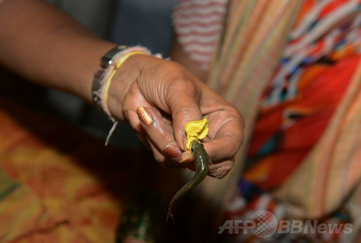 インド・ハイデラバード(Hyderabad)で、「魚療法」に使用される秘薬と魚(2014年6月8日撮影)。(c)AFP/Noah SEELAM ▼13Jun2014AFP|ぜんそく治療に秘薬入りの生きた魚を丸のみ、インド http://www.afpbb.com/articles/-/3017645 #Hyderabad