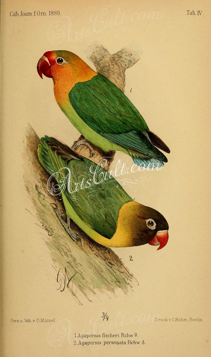 birds-31393 Fischer's Lovebird, agapornis fischeri, Yellow-collared Lovebird, agapornis personata ArtsCult.com Artscult ArtsCult vintage printable public domain 300 dpi commercial use 1800s 1700s 1900s Victorian Edwardian art clipart royalty free digital download picture collection pack paintings scan high qulity illustration old books pages supplies collage wall decoration ornaments Graphic engravings lithographs century 18th