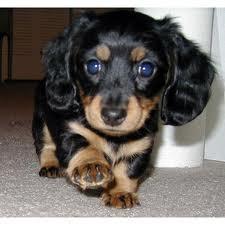 why isn't my wiener dog as cute as this...