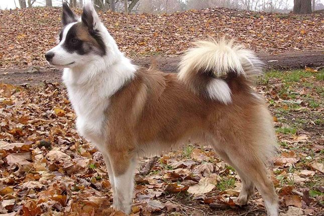 Find Icelandic Sheepdog puppies for sale with pictures from reputable Icelandic Sheepdog breeders. Ask questions and learn about Icelandic Sheepdogs at NextDayPets.com.