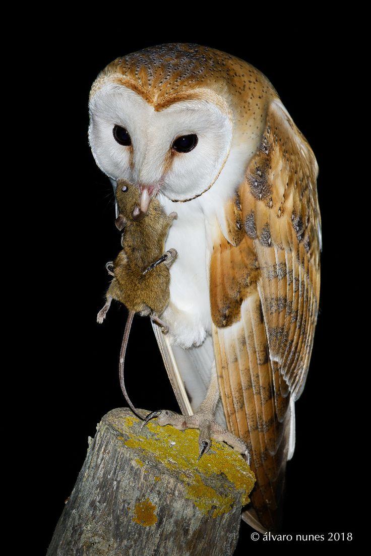 Coruja-das-torres | Barn owl | Tyto alba - Lezíria Grande de Vila Franca de Xira Portugal