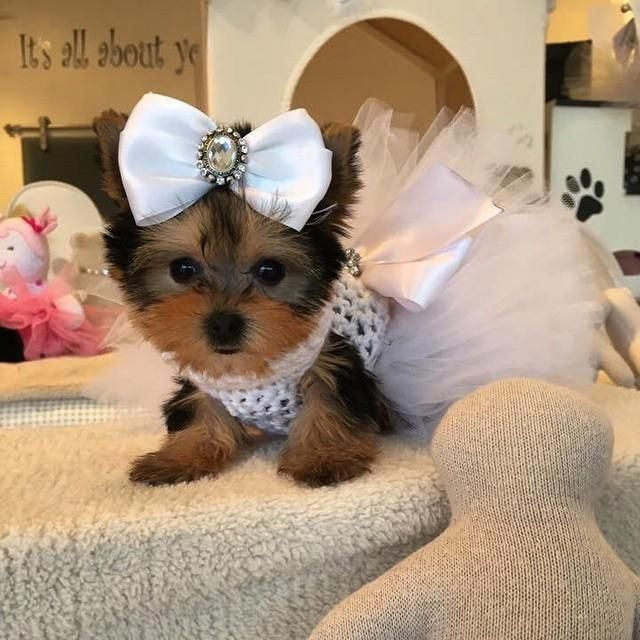 Yorkshire Terrier Puppies For Sale El Paso Tx Yorkshirepuppies
