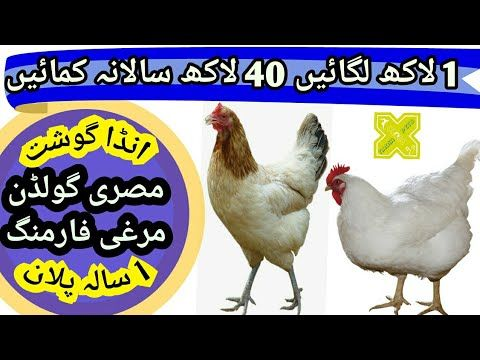 Misri Golden Murgi Farming in Pakistan! Complete Business