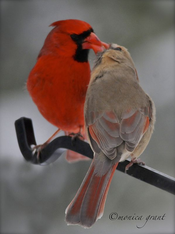☀Kissing Cardinals by monicagrant1 on Flickr*  ( I would imagine this is actually an male adult feeding a larger female fledgling)