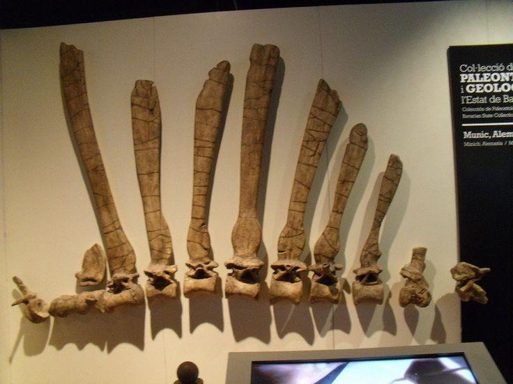 Reconstruction de l'holotype de Spinosaurus, exposé à Munich fin 1945 et détruit par le bombardement des alliés.
