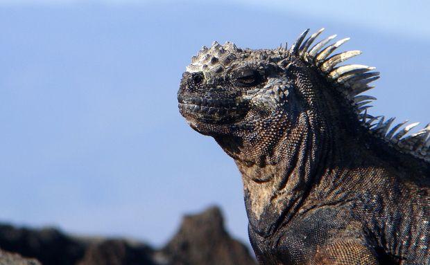As iguanas-marinhas só são encontradas em Galápagos e são os únicos lagartos que vão ao mar para obter seu alimento: algas. São encontradas em todas as ilhas principais, na área de arrebentação, onde se amontoam para se aquecer ao sol: http://abr.io/4g3r