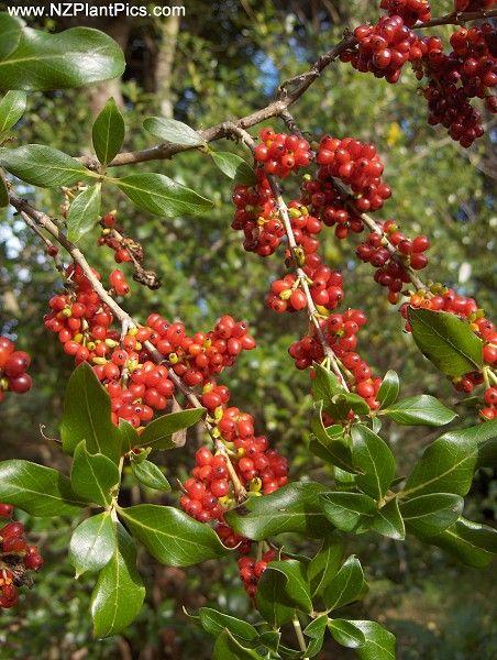 Coprosma robusta - karamu #NZnative