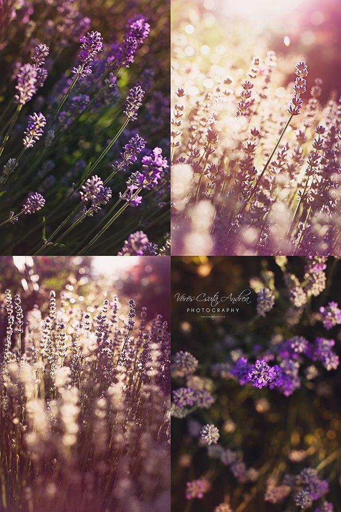 violet, purple, lavender, morning, smell, beautiful, sunshine, summer, csutafoto