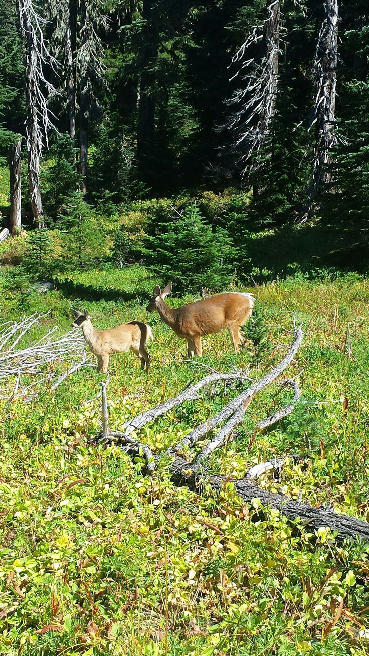 18 september. Een goed begin van de dag bij Mount Rainier NP. Moeder met jong.