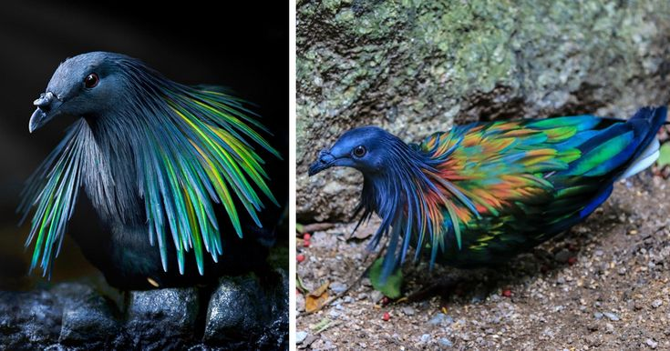 Meet The Closest Living Relative To The Extinct Dodo Bird With Incredibly Colorful Iridescent Feathers | Bored Panda