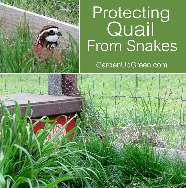 Are thinking about raising quail but wondering if Snakes will become an issue? Find out how you can raise Quail on the ground and keep them protected.