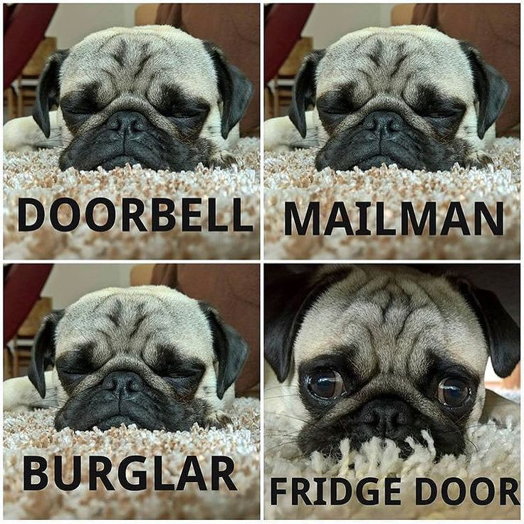 Every. Single. Time. Photo by @mr.picco_thepug Want to be featured on our Instagram? Tag your photos with #thepugdiary for your chance to be featured.