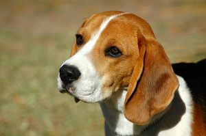 Basics - The History of Beagles