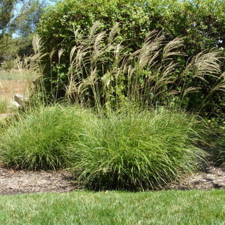evergreen miscanthus miscanthus transmorrisonensis persistant gramin es pinterest plantes. Black Bedroom Furniture Sets. Home Design Ideas