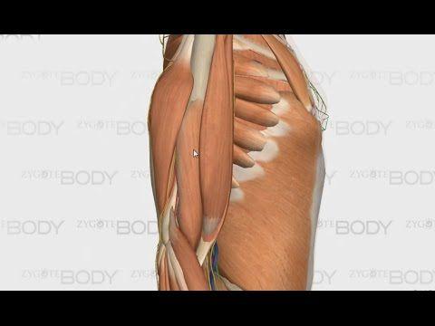 Olkavarren lihasten anatomia - YouTube