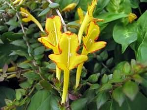 Image result for yellow lipstick plants