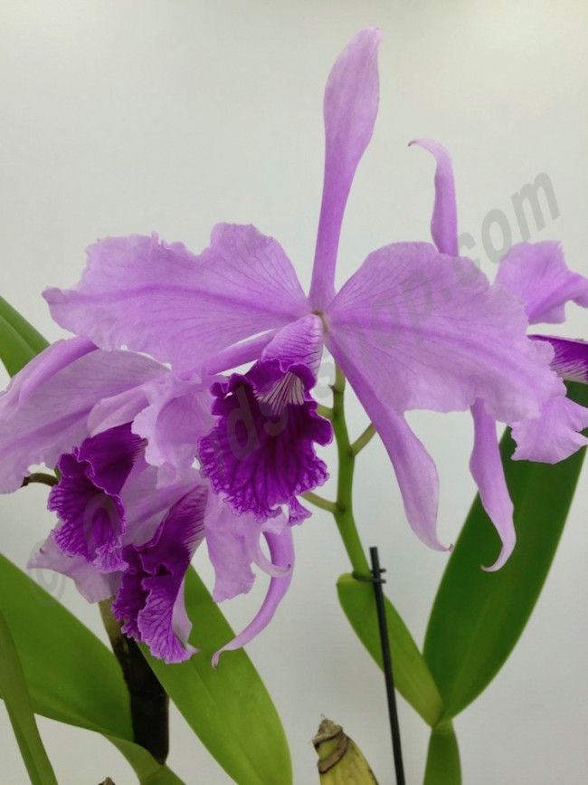 Laelia Lobata Big Claessen Orchids Beautiful Orchids Orchid Photography Cattleya Orchid