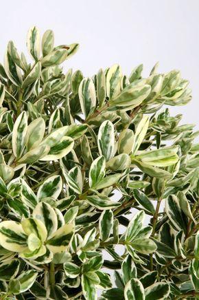 La Hebe o veronica è una pianta dalla fioritura graziosa con colori che vanno dal viola all'azzurro. Sta bene ovunque, in bordura, in vaso, come esemplare singolo o in macchia.