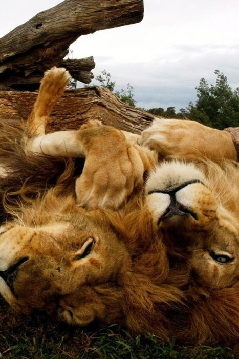 Lions: Big Cats, Animals, Bigcats, Lion Love, Lions, Brother, Wild Cats, Photo