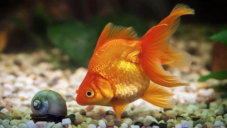 destaque_peixe_dourado