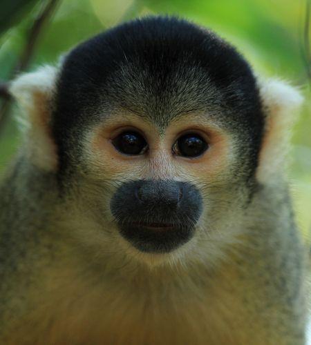 Capuchin Monkey-Bolivia   Photo by Nilla Palmer -- National Geographic Your Shot
