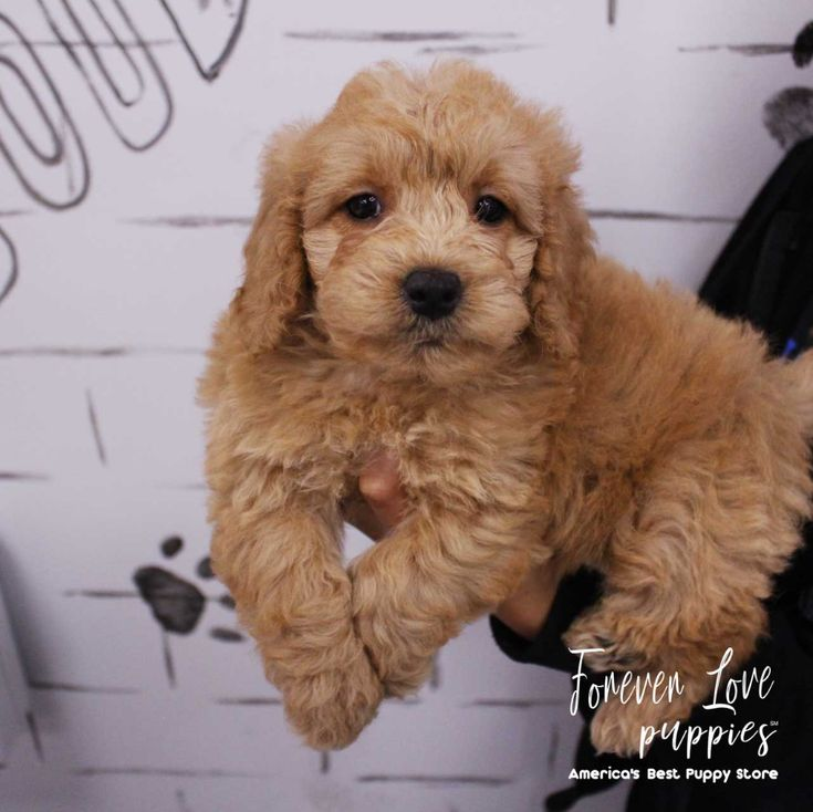 Mini goldendoodle forever love puppies blue merle blue