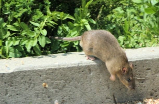 Eliminating Rats Can Be Done Without Harming Your Pets
