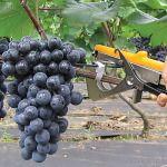 Виноград | Огородко — садовод и огородник в одном месте!