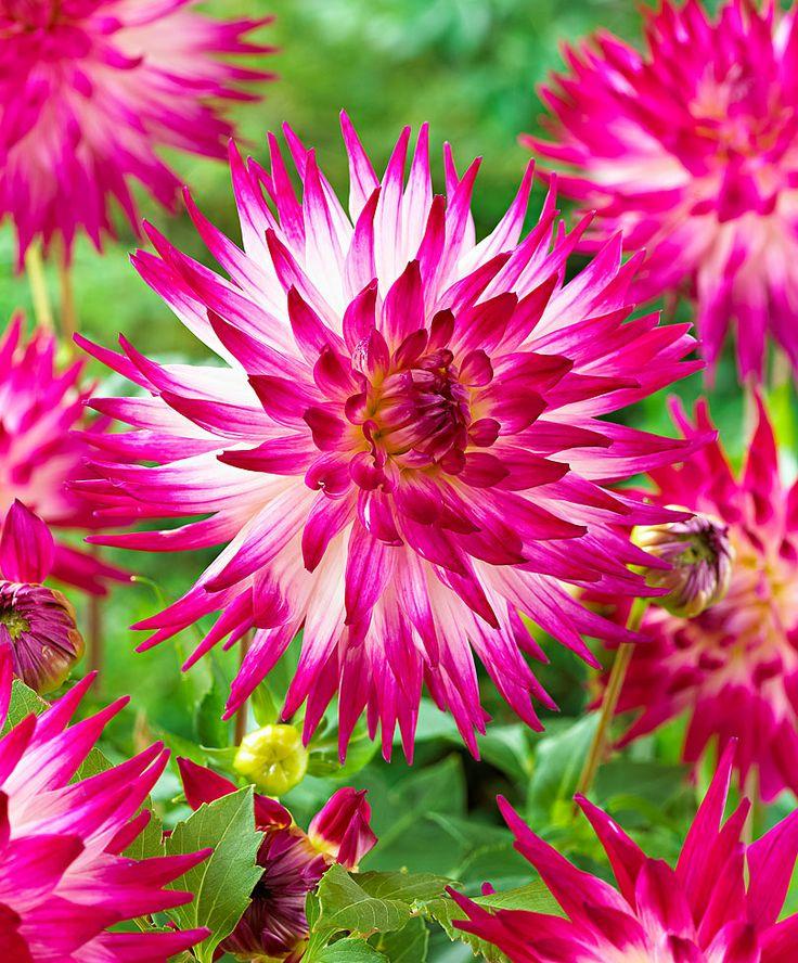 Dalie Dutch Explosion - #fiori e #giardinaggio - #bakker